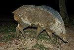 Suino fasciato (Sus scrofa vittatus) (8750051577) .jpg