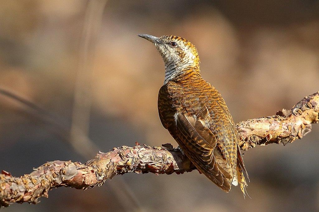 Banded Bay Cuckoo at Sunabeda