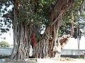 Banyan Tree (Shiv Bajrang Dham Kishunpur) close Focus.jpeg