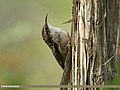 Bar-tailed Tree-creeper (Certhia himalayana) (31942288900).jpg