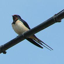 Barn Swallow 800.jpg