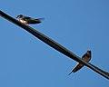 Barn Swallows (Hirundo rustica) - Guelph, Ontario.jpg