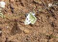 Bath White. Pontia daplidice - Flickr - gailhampshire (2).jpg
