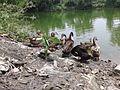 Bathing Ducks.jpg