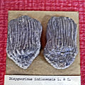 Batocrinidae - Dizygocrinus indianensis.JPG