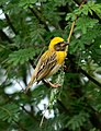 Baya Weaver Ploceus philippinus male Breeding plumage by Dr. Raju Kasambe DSC 5420 (13).jpg