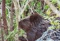 Beaver breakfast (19391390986).jpg