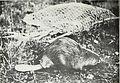 Beaver habits, beaver control, and possibilities in beaver farming (1078) (20365035521).jpg
