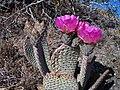 Beavertail Cactus 2008 - panoramio - Zzyzx.jpg