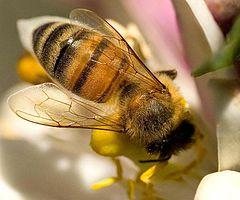 a méz táplálkozáshoz szolgál