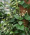 Begonia glabra Habitus.jpg