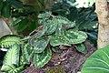 Begonia sizemoreae 2zz.jpg
