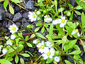 Bellis annua subsp. microcephala Habitat 2012-4-01 SierraMadrona.jpg