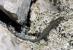 Benny Trapp Dalmatolacerta oxycephala.jpg