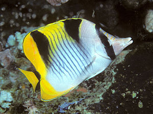 A sickle butterflyfish