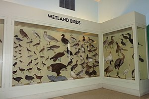 Berkshire Museum - Display case showing birds found in wetland areas