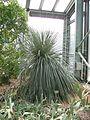 Berne botanic garden Dasylirion glaucophyllum.jpg
