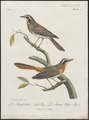 Bessonornis bicolor - 1796-1808 - Print - Iconographia Zoologica - Special Collections University of Amsterdam - UBA01 IZ16300353.tif