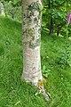 Betula maximowicziana kz02.jpg