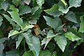 Betula nigra Little King 1zz.jpg