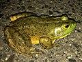 Big bullfrog on the road - 1.jpg