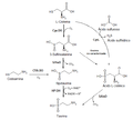 Biosíntesis de la taurina.png