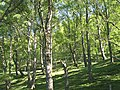 Birchwoods below Meall Dearg - geograph.org.uk - 829791.jpg