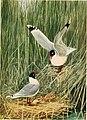 Bird-lore (1910) (14775275293).jpg