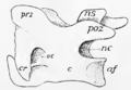 Bird cervical vertebra.png