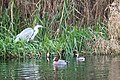Birdlife at polishing ponds of Lunds sewage treatment facility.jpg
