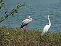 Birds-river-banjul-gambia-SS (48264126002).jpg