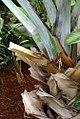 Bismarckia nobilis 5zz.jpg