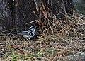 Black-and-white Warbler (documentation photos) (46346271531).jpg