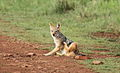 Black-backed jackal, Canis mesomelas, a young one playing with a root as a puppy plays with a ball at Rietvlei Nature Reserve, Gauteng, South Africa (16036832712).jpg