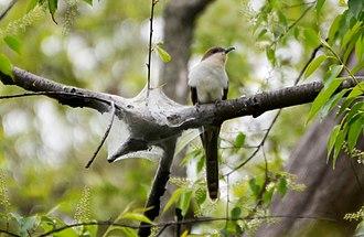 Black-billed cuckoo - Black-billed cuckoo preying on tent caterpillar nest