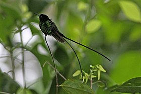 Black-billed Streamertail (Trochilus scitulus) (8082132080).jpg