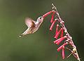 Black-chinned Hummingbird (Archilochus alexandri), juvenile female.jpg