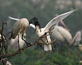 Black-headed Ibis (Threskiornis melanocephalus)- juvenile extracting food from adult W IMG 3347.jpg