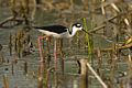 Black-necked Stilt - Texas - USA H8O5049 (15375957658).jpg