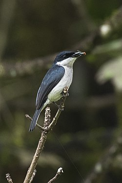 Black-winged Flycatcher-Shrike - Gunung Gede - West Java MG 3861 (29773557386).jpg