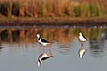Black-winged Stilts (24389563641).jpg