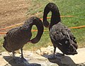 Black Swan (Cygnus atratus), captive, in Iran, Kermanshah.jpg
