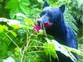 Black bear eating devil's club berries.jpg