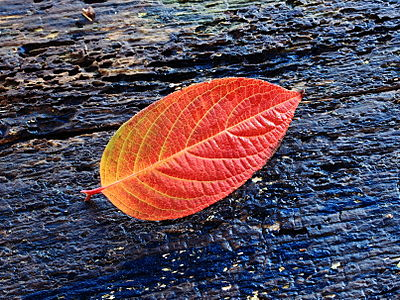 Daun Hydrangea paniculata pada musim gugur.