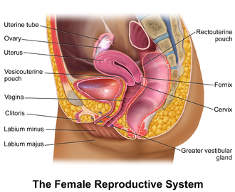 Female reproductive system - Illustration depicting female reproductive system (sagittal view)