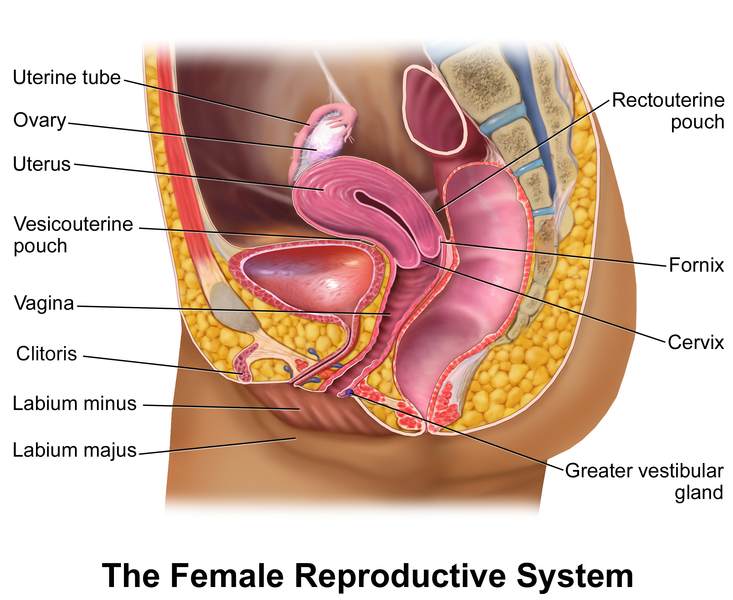 Female Reproductive System parts