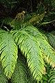 Blechnum novae-zelandiae kz18.jpg