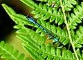 Blue Damsel on Bracken (15681131320).jpg