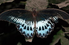 Blue mormon Upper.jpg