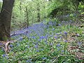 Bluebell time in Prior's Wood - geograph.org.uk - 1282124.jpg